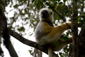 Golden Sifaka Madagascar