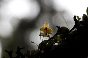 Orchid Madgascar